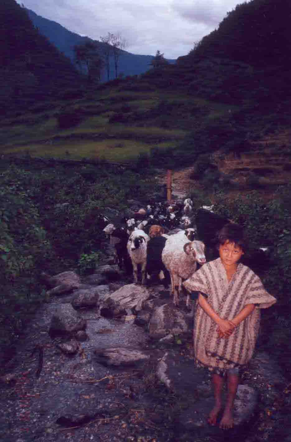 nepalese sheep boy