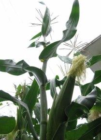 corn_ear_01