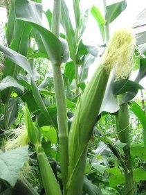 corn_ear_02