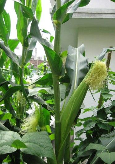 corn_ear_03
