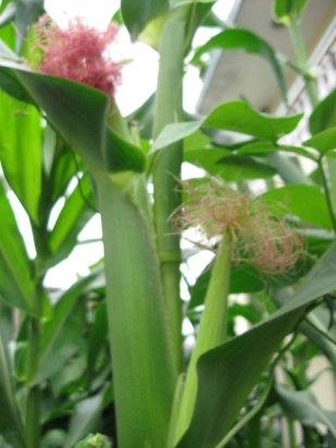 corn_silk_01