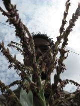 wagle_corn_tassel_04