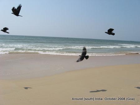 birds at kolva beach goa