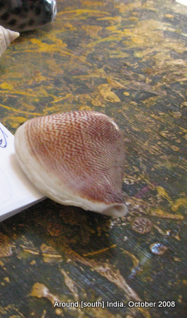 sea shell for sale