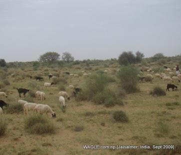 camel safari in jaisalmer and sheep grazing