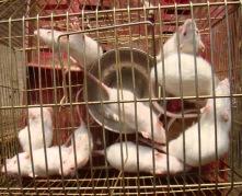 rats_of_delhi_india_ (5)