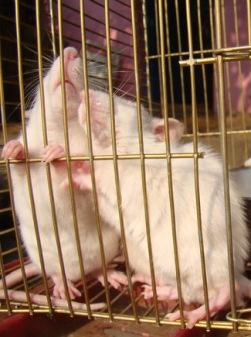 rats_of_delhi_india_ (6)