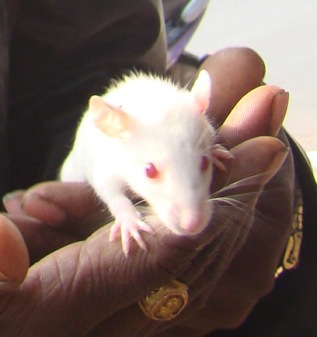 rats_of_delhi_india_ (9)