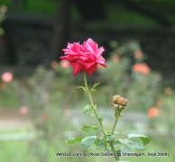 rose of chandigarn rose garden