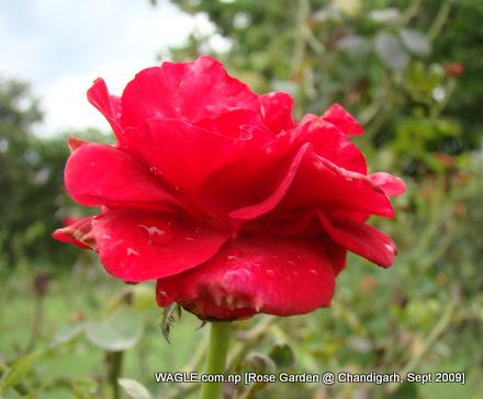 Rose of Chandirarh