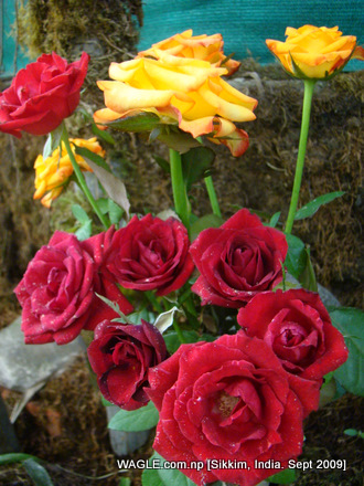 flowers of gangtok, sikkim