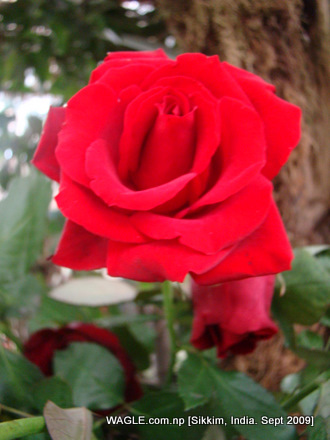 rose of gangtok, sikkim