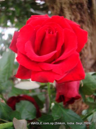 rose of gangtok, sikkim