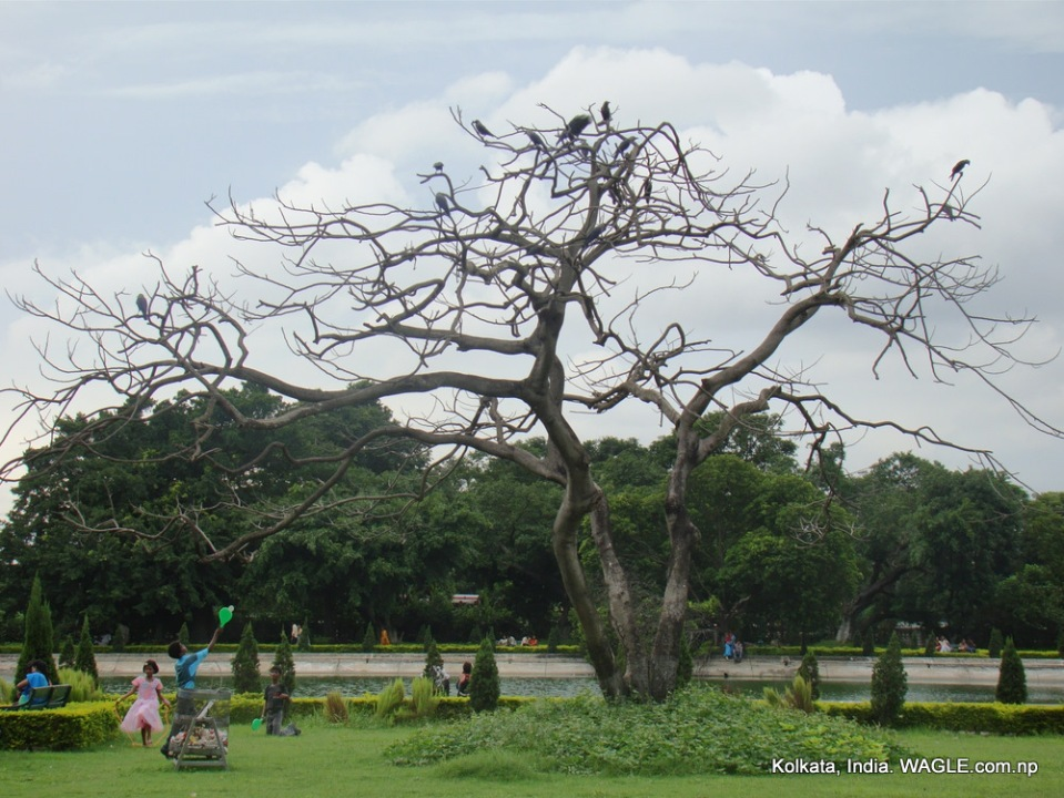 a tree without leaves in kolkata