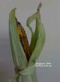 roasted corn jangpura delhi