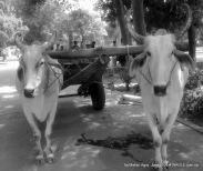 bulls in taj mahal