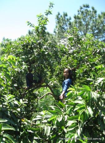 highway kids of nepal picking guava