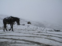 a horse walking on snow at rohtang pass himachal pradesh india