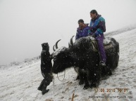 riding yak rohtang pass himachal pradesh india