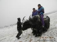 riding yak rohtang pass himachal pradesh india