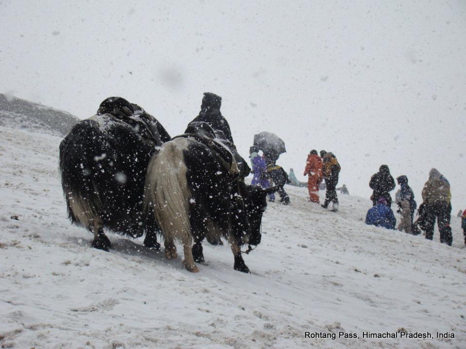 yaks at rohtang pass himachal pradesh india