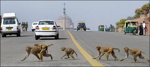 monkeys of delhi