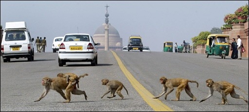 monkeys of delhi