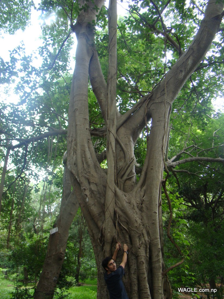 Twisted banyan Tree