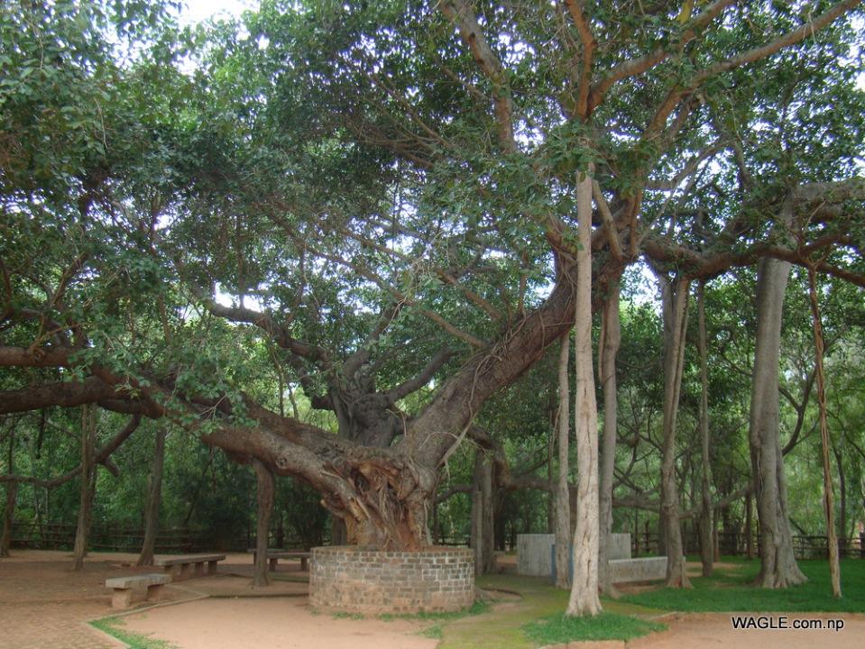 Banyan tree areial prop roots