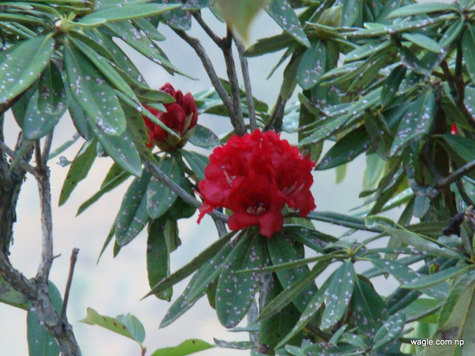 Rhododendron the Flower