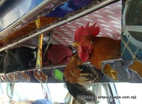 Two roosters created havoc by shitting on the shoulders and heads of two human passengers who were seated just below them