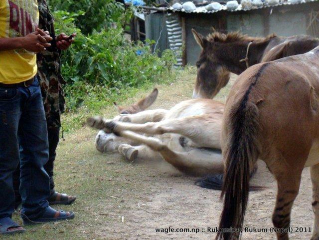 1-mules stretching legs.