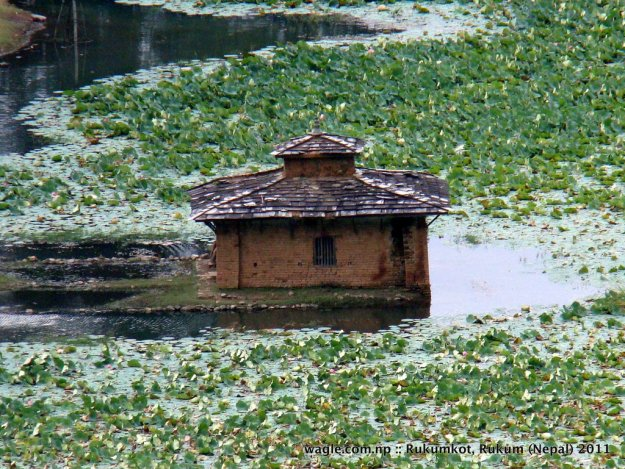 1-rukumkot lotus plants in lotus pond