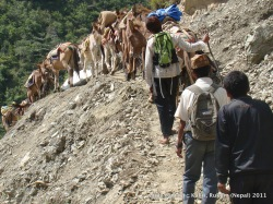 Former Maoist guerrilla Jeet Bahadur Gharti and his mules pass through a landslide in Rukum