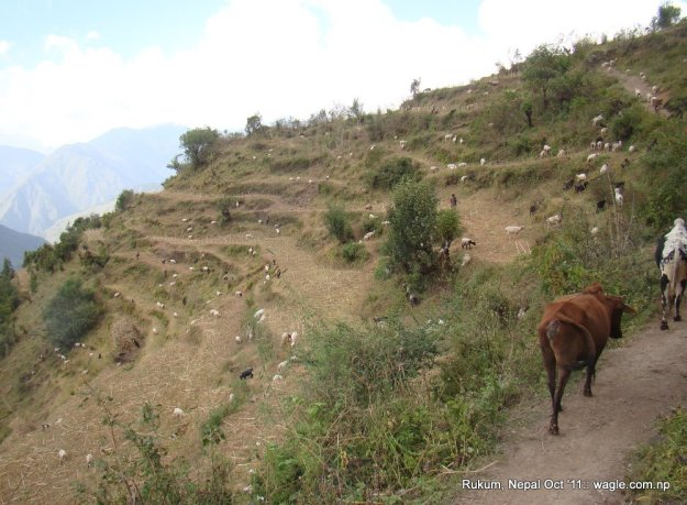 Sheep near Cubang, Rukum