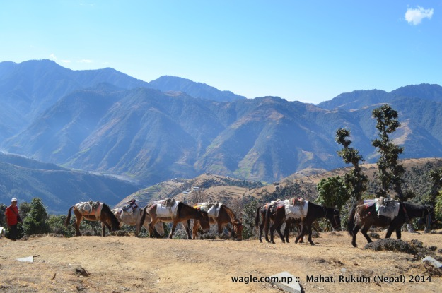 A caravan of mules heads toward Kankri village in Gunam, Mahat (Rukum). On the background is the view of Thabang valley (Rolpa).