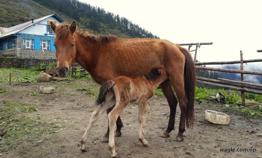 A mare breast feeding a foala