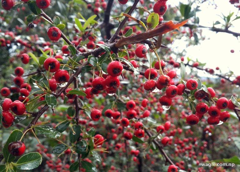 Ghangaru berries, the Nepali Firethorn