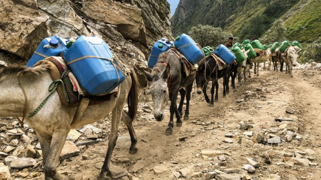 Mules carrying diesel in Humla Karnali Nepal